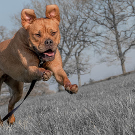 Dogue De Bordeaux Running by Jenny Trigg - Animals - Dogs Running ( dog running, dogue de bordeaux, mastiff, puppy, dog )