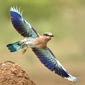 INDIAN ROLLER by Subramanniyan Mani - Animals Birds
