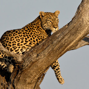 Lazy Leopard by Robbie Aspeling - Animals Other Mammals
