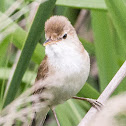 Great Reed Warbler; Carricero Tordal