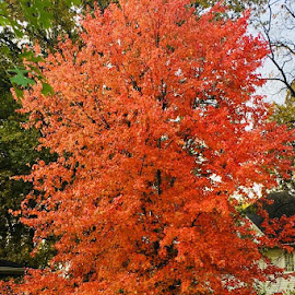 Orange You Glad it's Fall by Lori Fix - Nature Up Close Trees & Bushes