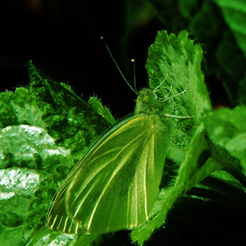 Cabbage white butterfly by Mary Gallo - Animals Insects & Spiders (  )