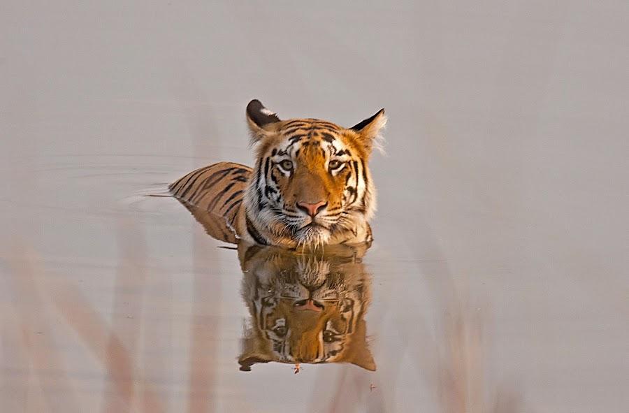 Tiger female cub from tadoba maharashtra by Ashish Inamdar - Animals Lions, Tigers & Big Cats