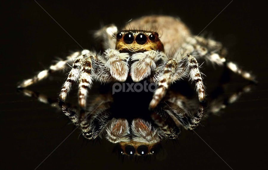 jumper And Its Reflection by Karthi Keyan - Animals Insects & Spiders ( macro, spider, life, sigma 105mm )