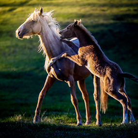 Fighting foal by Glenys Lilley - Animals Horses ( palomino, mare, horse, fighting, foal,  )