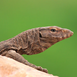 Monitor Lizard by Devki Nandan - Animals Reptiles
