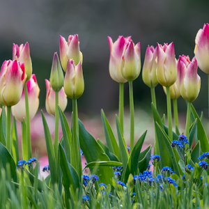 Pink and White Tulips 22 04 18.jpg