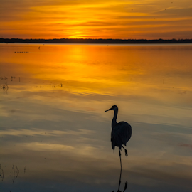 On one leg in Myakka Lake by Joe Saladino - Landscapes Sunsets & Sunrises ( bird, water, reflection, sunset, lake,  )