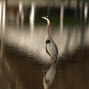 Great Blue Heron by Bud Schrader - Animals Birds