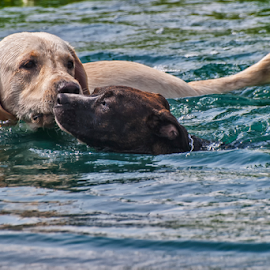 Enjoying a dip in the pond by Joe Saladino - Animals - Dogs Playing ( water, animals, swiming, dog, pond,  )