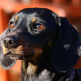 Frankie by Chrissie Barrow - Animals - Dogs Portraits ( smooth, female, pet, dachshund (miniature smooth), fur, ears, sunshine, dog, nose, tan, black, portrait, eyes,  )
