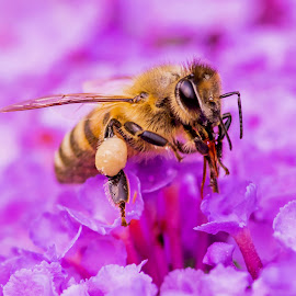 Honey Bee by Scott Carver - Animals Insects & Spiders ( macro, macro photography, nature up close, insect, honey bee )