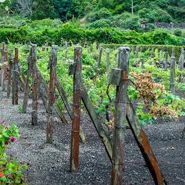Açores - Vineyard by Luís Paralta - Landscapes Travel (  )