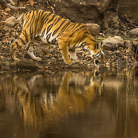 Waterelief! by Ajay Sood - Animals Lions, Tigers & Big Cats ( reflection, tiger, wildlife, photo images from india, travel, bandhavgarh, jungle, safari, pwcmovinganimals, summer, watering hole, india, travelure, pond )