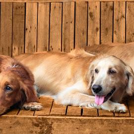 Golden Seniors by Fsm Fashionstudiomanila - Animals - Dogs Portraits ( dogs, dog portrait, golden, golden retriever )