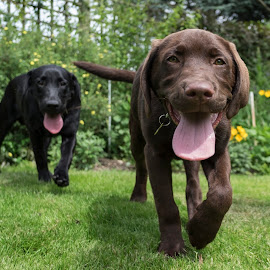 Dexter the Happy Pup by Andrew Robinson - Animals - Dogs Puppies ( chocolate, puppy, labrador, dog )