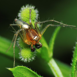 Golden Lynx  by Wan Cini - Animals Insects & Spiders
