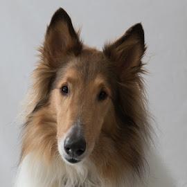 Jackson by Krista Allen - Animals - Dogs Portraits ( collie, jackson, head shot, dog portrait, white background, dog, portrait )