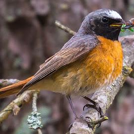 redstarts by Svein Hansen - Animals Birds ( rødstjert, fugl )
