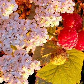 Raspberries by Gene Richardson - Food & Drink Fruits & Vegetables