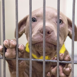 Pit Puppy - Waiting on Adoption by Ginger Wlasuk - Animals - Dogs Puppies ( shelter, shelter dog, pitbull, rescue, puppy )