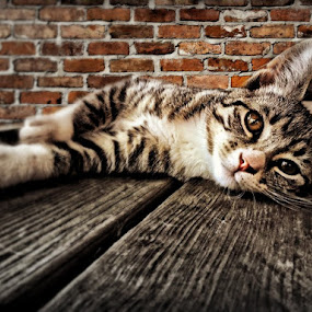 Lazy Sunday by Antonio Winston - Novices Only Pets ( kitten, cat, cat eyes, furry, paws, stripes, relaxing,  )