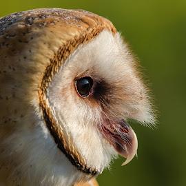 Barn Owl  by Rico Forlini - Animals Birds ( bird, owl portrait, nature, barn owl, owl, wildlife, raptor, portrait, closeup )