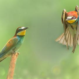 Gruccione ..... by Albergamo Paolo - Animals Birds