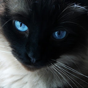 Sebastian by Renee East - Animals - Cats Portraits ( cat kitty kitten siamese )