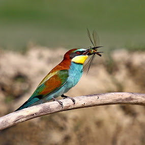 Merops apiaster by Simon Kovacic - Animals Birds ( european bee-eater, bird, meropidae, merops apiaster, merops, near passerine bird )