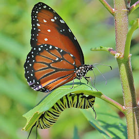 Butterfly and Caterpillar by Peg Elmore - Animals Insects & Spiders ( butterfly, queen, milkweed, caterpillar, leaf )