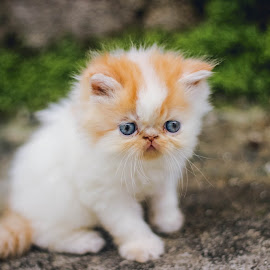 persian kitten by Dedy Murtiawan - Animals - Cats Kittens ( perdian, kitten, male, eyes )