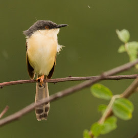 Ashy Prinia by Shashi Kotte - Animals Birds ( small bird, ashy prinia, green, nature, rain drops, common bird, prinia, drizzle, branch, open perch, ashy, green background, beautiful, single bird, bird )