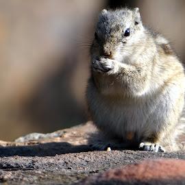 Squirrel by Abhishek Absk - Animals Other Mammals ( potrait, animals, action, squirrel, mammal )