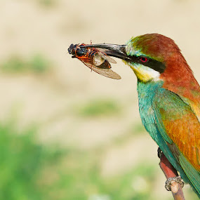 ...***... by Doina Russu - Animals Birds ( european bee-eater, merops apiaster, capture, branch, wildlife, cicada, insects, birds )