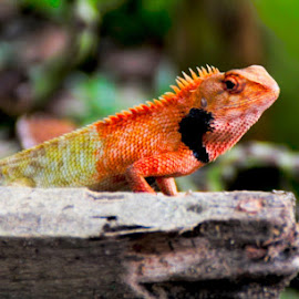 by Sultan Firaun - Animals Reptiles (  )