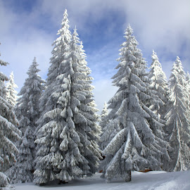 Christmas trees by Cosmin Popa-Gorjanu - Public Holidays Christmas ( winter, cold, snowed fir trees, snow, christmas, trees )