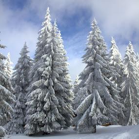 Christmas trees by Cosmin Popa-Gorjanu - Public Holidays Christmas ( winter, cold, snowed fir trees, snow, christmas, trees )