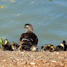 Wood Duck Momma & Babies by Jenifer Gutke - Animals Birds ( ducklings, nature, wood duck, ducks, nature up close )