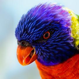 Let Me Tell You About Lories by Judy Rosanno - Animals Birds ( australian bird, bird, lorie, san antonio zoo, loriekeet, animal )