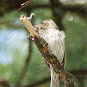Cassin's finch (female)