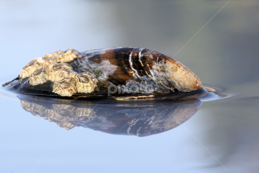 Mussel shell with barnacles by Val  Ford - Artistic Objects Other Objects ( reflection, macro, barnacles, mussel shell, close-up )