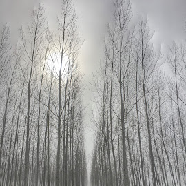 Through the woods by Kathy Dee - Nature Up Close Trees & Bushes ( barren, foggy, winter, fog, trees, forest, gray, sun, mist )