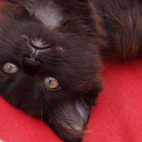 by Cindy Mac - Animals - Cats Kittens ( cat, kitten, baby, black )
