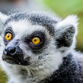 Brown Eyes by Ken Nicol - Animals Other Mammals (  )
