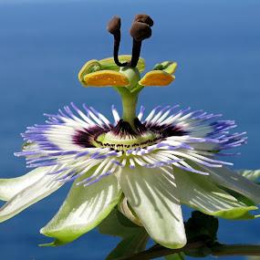 by Boris Buric - Flowers Single Flower (  )