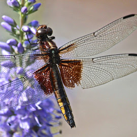 Dragonfly by Judy Laliberte - Novices Only Flowers & Plants ( detail, purple, wings, flowers, dragonfly )