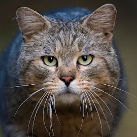 Angry cat by Blaž Ocvirk - Animals - Cats Portraits