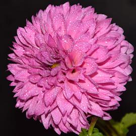 pink dahlia by LADOCKi Elvira - Flowers Single Flower ( nature, flowers, garden )