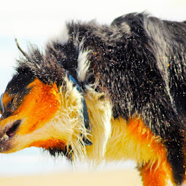 Marley at the Beach by Patty Hartigan - Animals - Dogs Playing ( dog portrait, dog playing, wet, dog, animal )